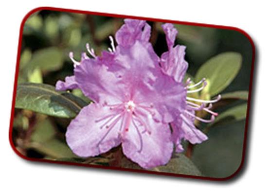 poison-flower